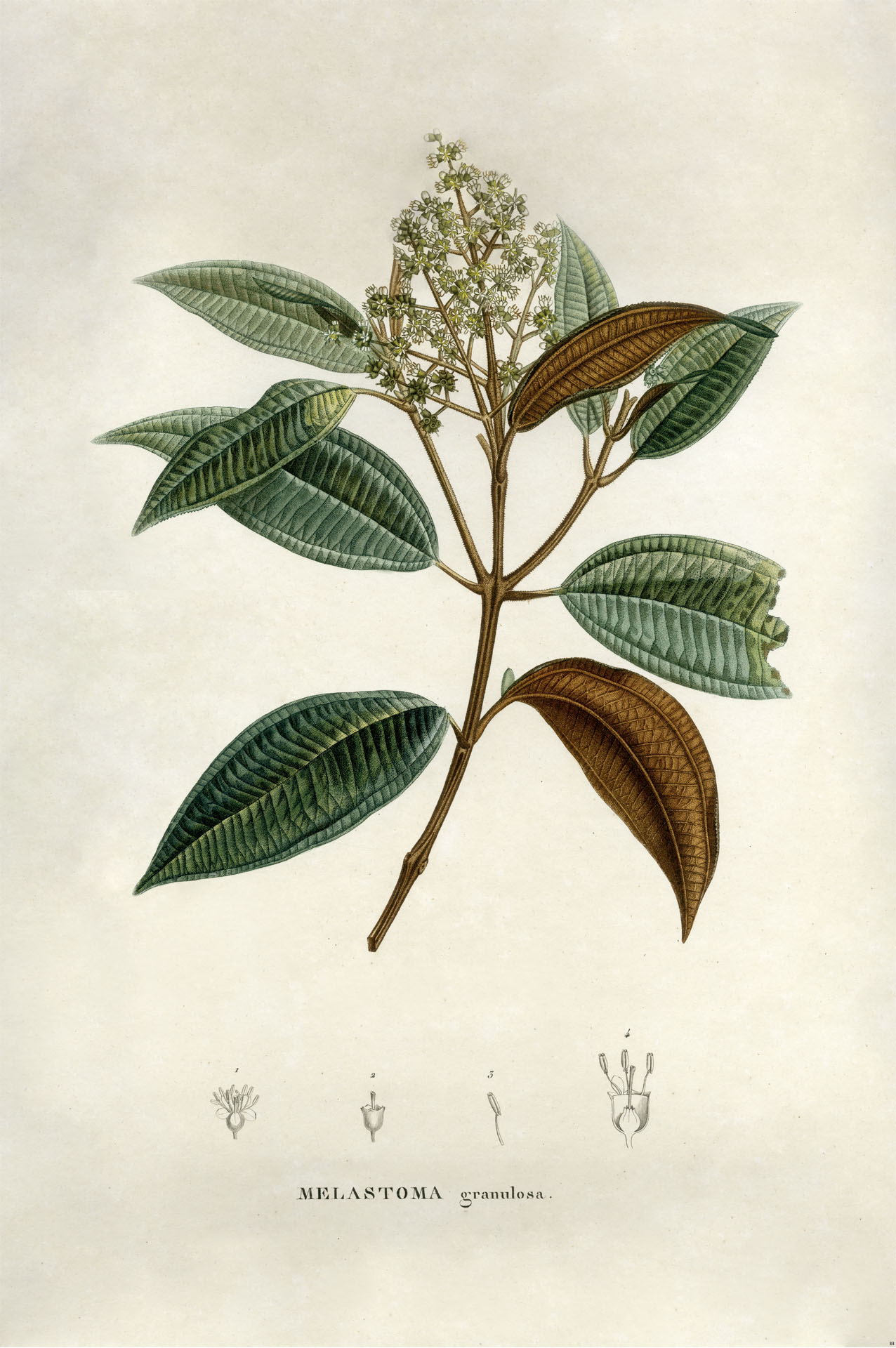 Melastoma Granulosa