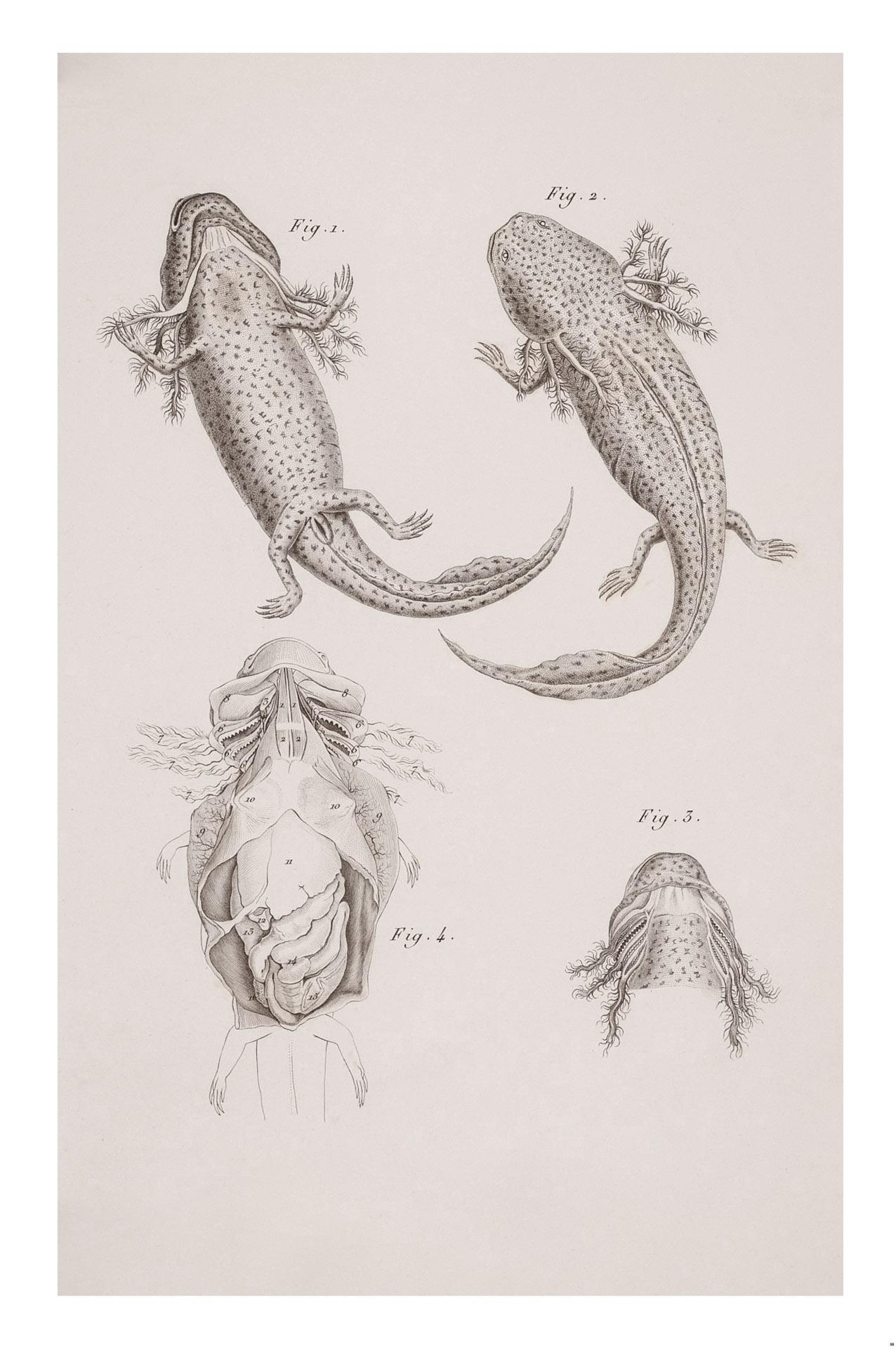 Mexicanis Axolotl